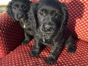 Cocker Spaniel Puppies for sale | DogsandPuppies co uk