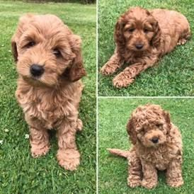 Red F1B Cockapoo Puppies (gilrs) in Witney