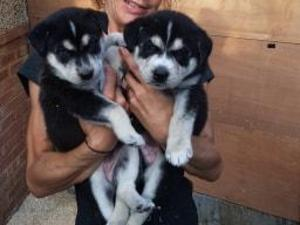 Puppies for sale in Bicester | DogsandPuppies co uk