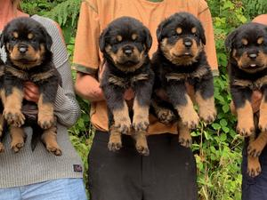 Rottweiler Puppies for sale | DogsandPuppies co uk