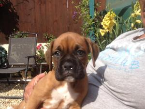 Boxer Puppies for sale | DogsandPuppies co uk