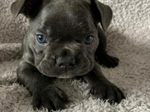 Gorgeous Lilac and Blue Brindle French Bulldog Puppies in Poole