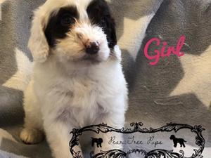 Puppies for sale & Dog Accessories | DogsandPuppies co uk