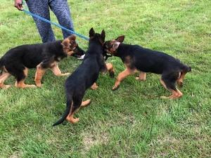 German Shepherd Puppies for sale | DogsandPuppies co uk