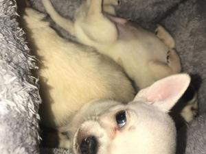 Chihuahua Puppies for sale | DogsandPuppies co uk