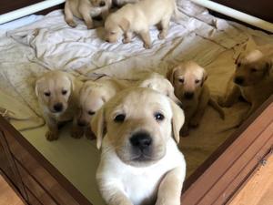 Labrador Puppies for sale | DogsandPuppies co uk
