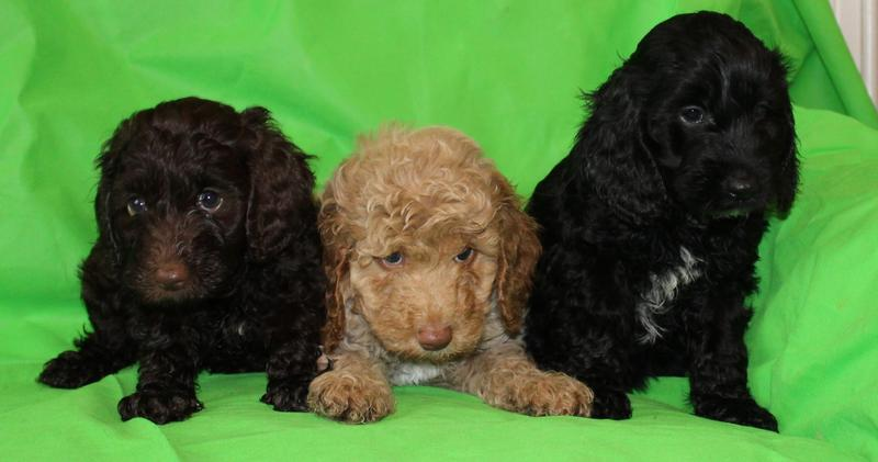 Health Tested F1b Cockapoo Puppies for Sale in Harrogate
