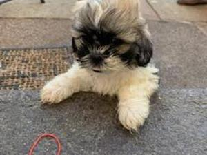 Black Brown And White Shih Tzu Puppies for sale