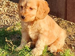 Cockapoo Puppies for sale | DogsandPuppies co uk