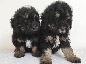 Puppies for sale in South East | DogsandPuppies co uk