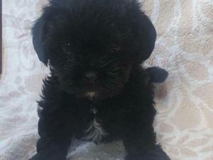 Shih Tzu Puppies for sale | DogsandPuppies co uk