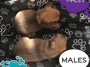 French Bulldog Puppies for sale | DogsandPuppies co uk