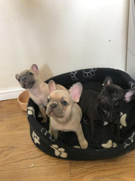 LOLO HAVE Lilac, Tan Carrying Cream French Bulldog Puppies