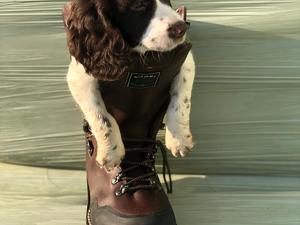 Puppies for sale in Gloucester | DogsandPuppies co uk