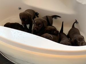 Labrador Puppies for sale | DogsandPuppies co uk