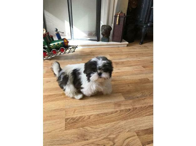 Stunning Shih tzu puppies for sale in London