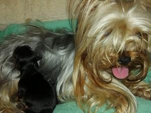 Yorkshire Terrier Puppies for sale | DogsandPuppies co uk