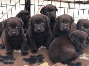 Show Type Chunky Chocolate Labradors In Lampeter