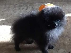 Pomeranian Puppies for sale | DogsandPuppies co uk