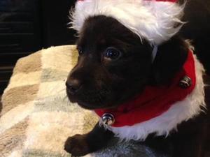 Labrador Puppies For Sale In West Midlands Dogsandpuppies