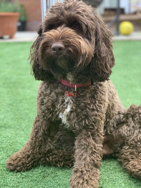Stunning F1 Cockapoo Puppies For Sale In Milton Keynes Dogsandpuppies Co Uk