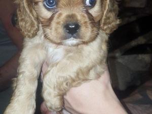 Springer Spaniel Puppies For Sale Dogsandpuppiescouk
