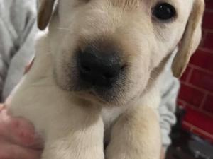 Labrador Puppies For Sale Dogsandpuppiescouk
