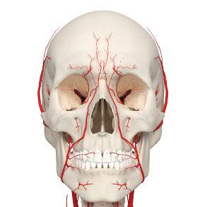 Darstellung Schädel und der im Gesicht verlaufenden Gefäße