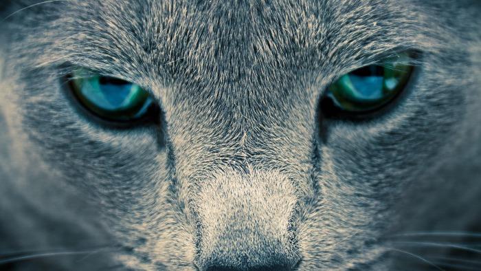 Particolare degli occhi di un gatto Certosino