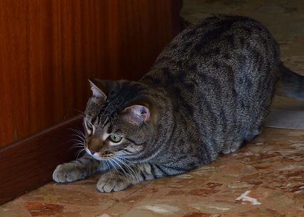 gatto-che-punta