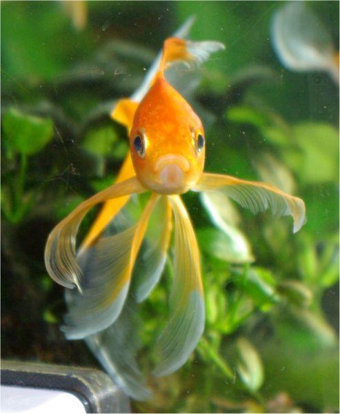Pesce rosso dall 39 antica cina alla boccia di casa for Boccia pesci