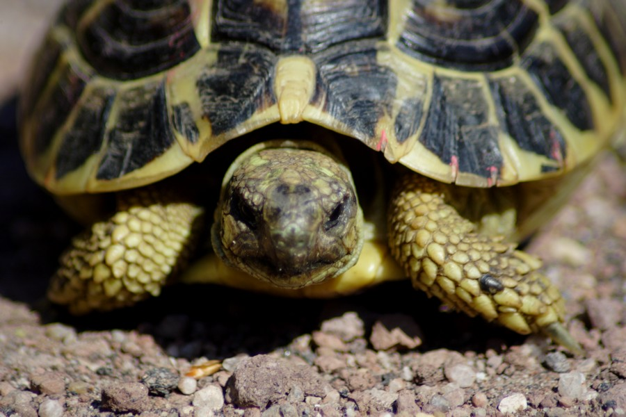 Testudo for Temperatura tartarughe