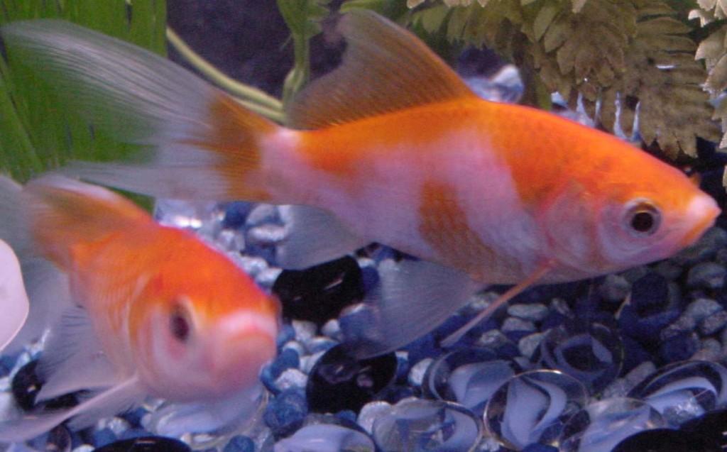 goldfish_shubunkin_big_mine
