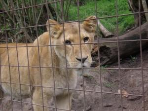 elsa leonessa lenti a contatto