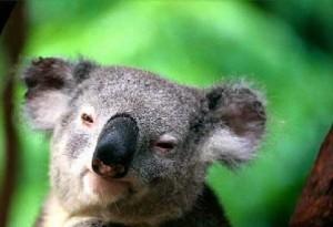 koala_australia_zoo