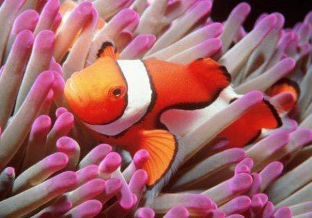 nemo pesce pagliaccio