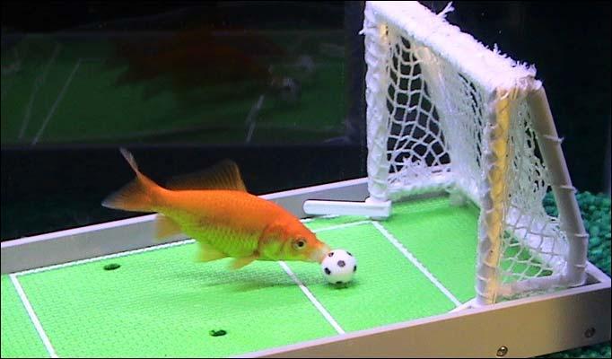 Anche i pesci rossi giocano a calcio petpassion blog for Vasca per pesci