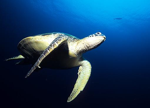 tartaruga marina tchompi