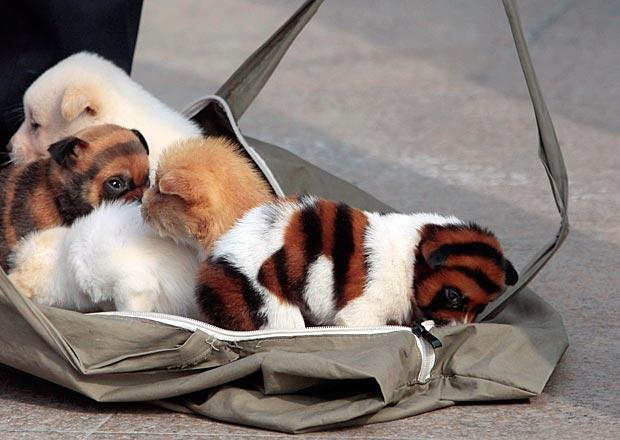 Cina spuntano cani tigre ma una bufala petpassion blog for Casa progetta il trotto del cane