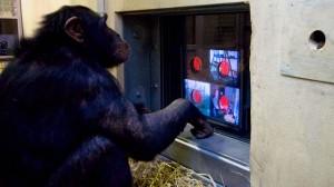 scimpanzè documentarista