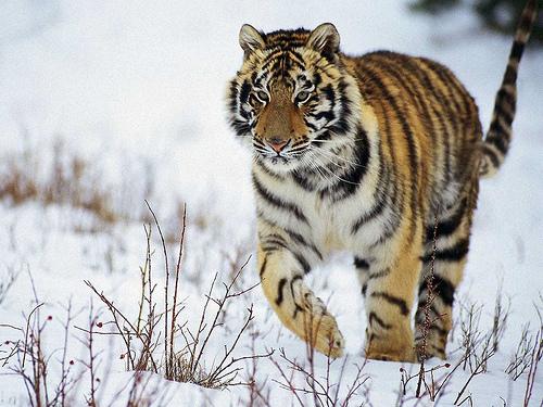 La tigre al primo posto per rischio estinzione for Disegni delle tigri