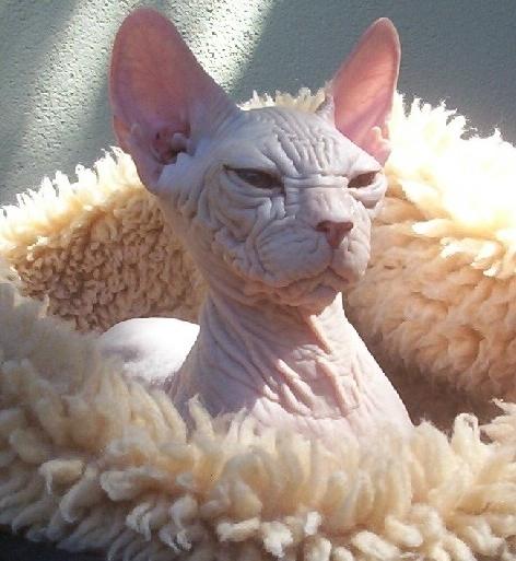 Il Kohona Il Gatto Senza Pelo