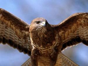 falco-pellegrino1