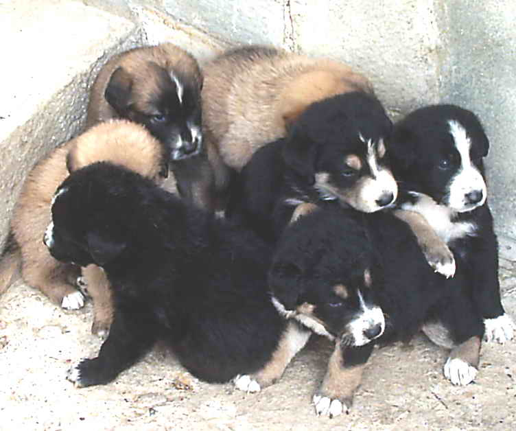 Sgominato Traffico Cuccioli A Torino Liberi 200 Cani
