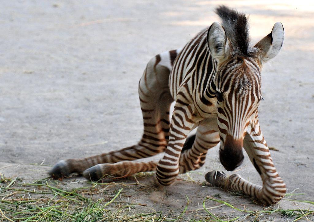 Arriva una nuova zebra al bioparco di roma - Colorazione pagine animali zoo ...