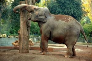 Elefante al Bioparco