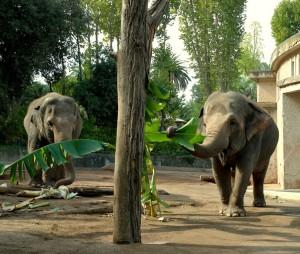 elefantesse