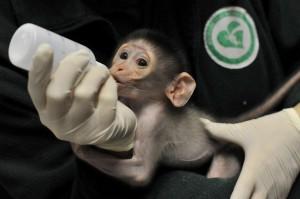 cercocebo scimmia allattamento