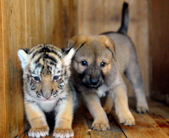 cucciolo tigre cane
