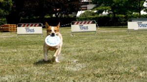 Un cane felice dopo aver catturato il frisbee